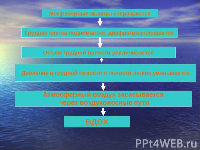 Межреберные мышцы сокращаются Грудная клетка поднимается, диафрагма уплощается Объем грудной полости увеличивается Давление в грудной полости и полости легких уменьшается Атмосферный воздух засасывается через воздухоносные пути ВДОХ