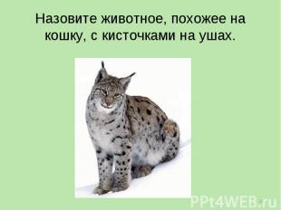 Назовите животное, похожее на кошку, с кисточками на ушах.