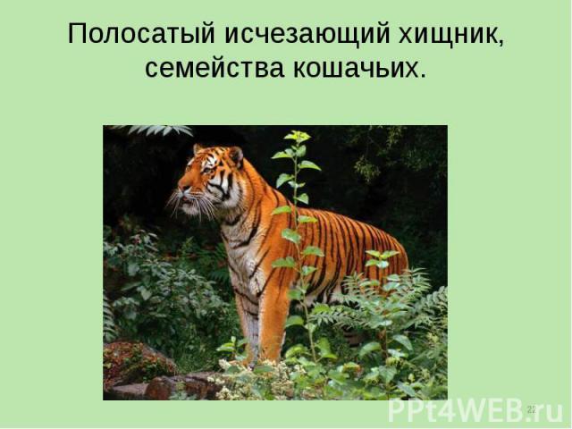 Полосатый исчезающий хищник, семейства кошачьих.