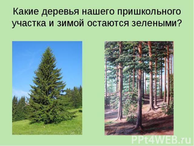 Какие деревья нашего пришкольного участка и зимой остаются зелеными?
