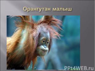 Орангутан малыш