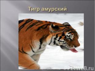 Тигр амурский