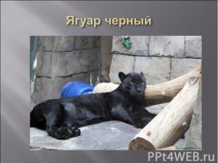 Ягуар черный