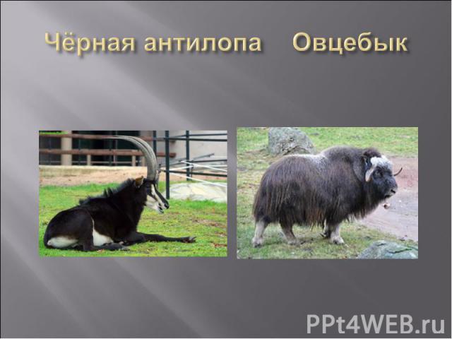 Чёрная антилопа Овцебык
