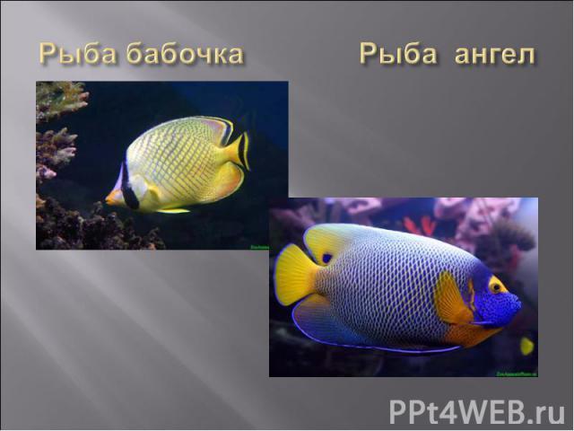 Рыба бабочка Рыба ангел