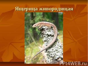 Ящерица живородящая