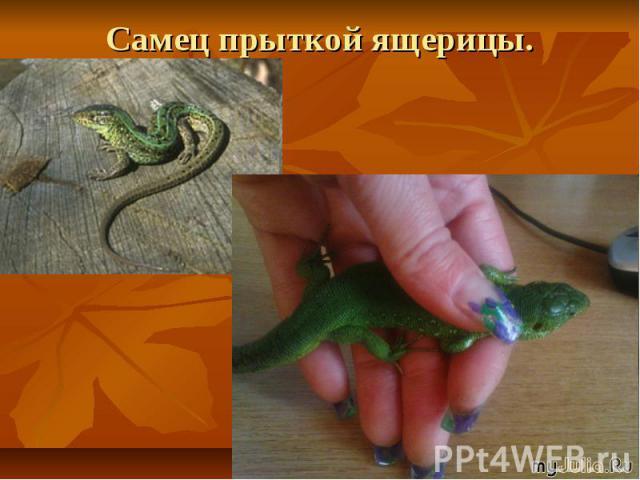 Самец прыткой ящерицы.