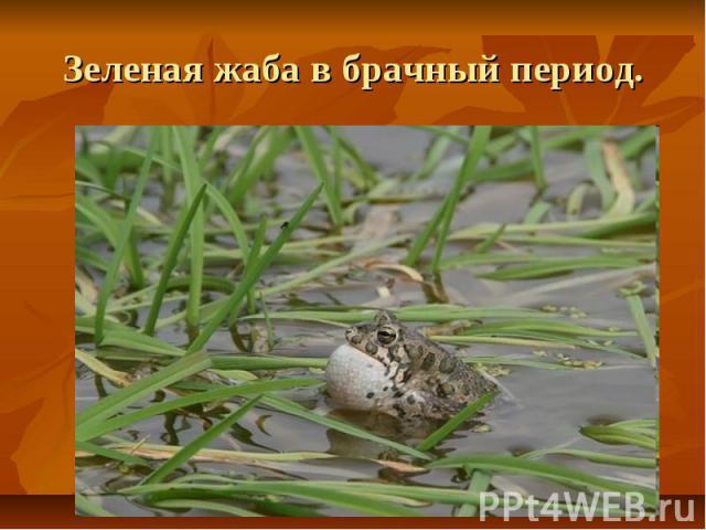 Зеленая жаба в брачный период.