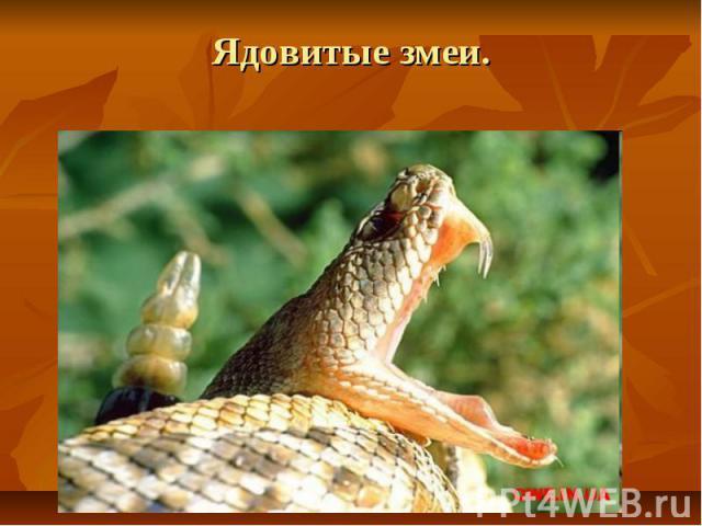 Ядовитые змеи.