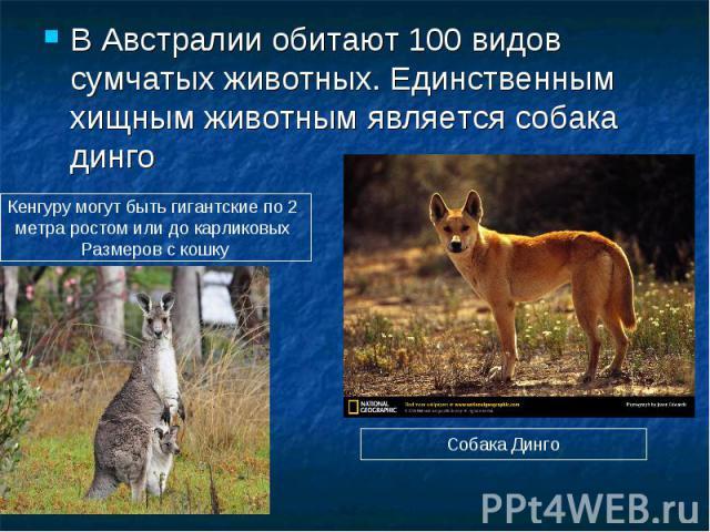 В Австралии обитают 100 видов сумчатых животных. Единственным хищным животным является собака динго Кенгуру могут быть гигантские по 2 метра ростом или до карликовых Размеров с кошку Собака Динго