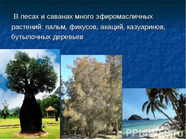 В лесах и саванах много эфиромасличных растений: пальм, фикусов, акаций, казуаринов, бутылочных деревьев