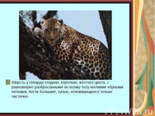 Шерсть у гепарда гладкая, короткая, жёлтого цвета, с равномерно разбросанными по