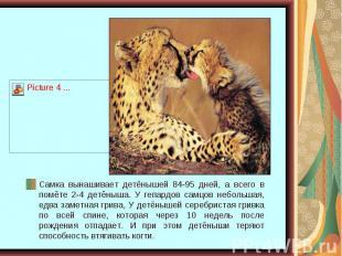 Самка вынашивает детёнышей 84-95 дней, а всего в помёте 2-4 детёныша. У гепардов