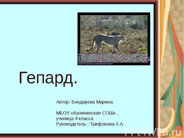Гепард. Автор: Бондарева Марина МБОУ «Калининская СОШ» , ученица 4 класса Руководитель : Трифонова А.А.