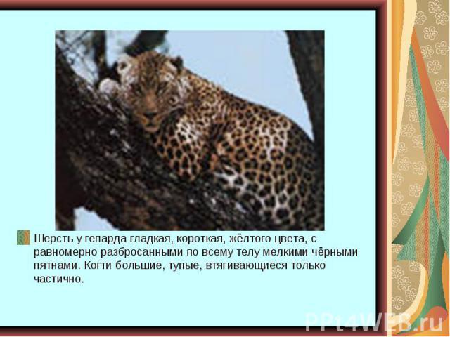 Шерсть у гепарда гладкая, короткая, жёлтого цвета, с равномерно разбросанными по всему телу мелкими чёрными пятнами. Когти большие, тупые, втягивающиеся только частично.