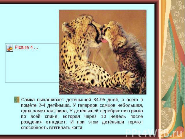 Самка вынашивает детёнышей 84-95 дней, а всего в помёте 2-4 детёныша. У гепардов самцов небольшая, едва заметная грива, У детёнышей серебристая гривка по всей спине, которая через 10 недель после рождения отпадает. И при этом детёныши теряют способн…