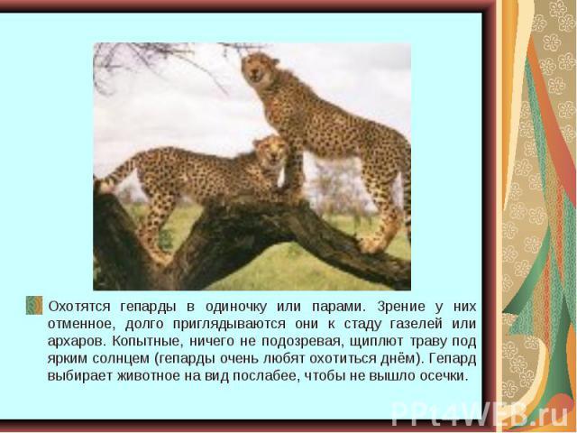 Охотятся гепарды в одиночку или парами. Зрение у них отменное, долго приглядываются они к стаду газелей или архаров. Копытные, ничего не подозревая, щиплют траву под ярким солнцем (гепарды очень любят охотиться днём). Гепард выбирает животное на вид…