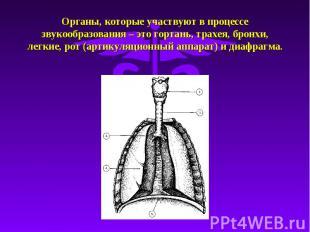 Органы, которые участвуют в процессе звукообразования – это гортань, трахея, бро