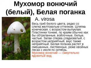 Мухомор вонючий (белый), Белая поганка A. virosa Весь гриб белого цвета, редко с