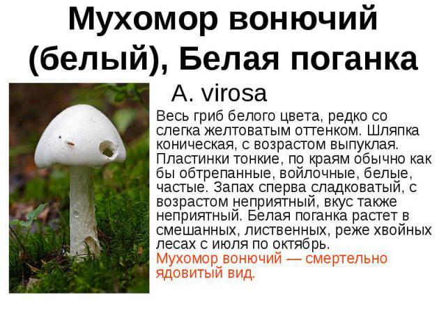 Мухомор вонючий (белый), Белая поганка A. virosa Весь гриб белого цвета, редко со слегка желтоватым оттенком. Шляпка коническая, с возрастом выпуклая. Пластинки тонкие, по краям обычно как бы обтрепанные, войлочные, белые, частые. Запах сперва сладк…