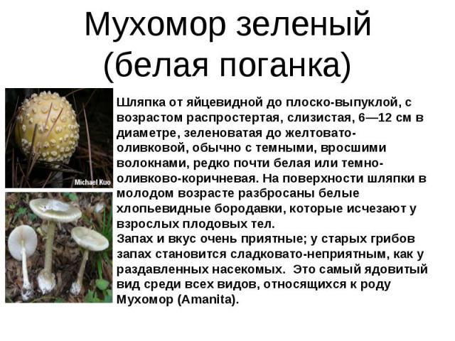 Мухомор зеленый (белая поганка) Шляпка от яйцевидной до плоско-выпуклой, с возрастом распростертая, слизистая, 6—12 см в диаметре, зеленоватая до желтовато-оливковой, обычно с темными, вросшими волокнами, редко почти белая или темно-оливково-коричне…