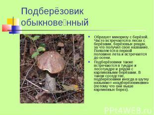 Подберёзовик обыкнове нный Образует микоризу с берёзой. Часто встречается в леса