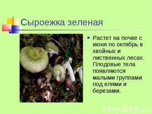 Сыроежка зеленая Растет на почве с июня по октябрь в хвойных и лиственных лесах.