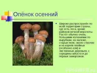 Опёнок осенний Широко распространён по всей территории страны, где есть леса, кр