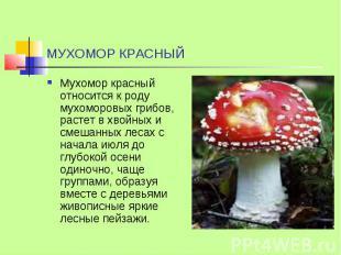 МУХОМОР КРАСНЫЙ Мухомор красный относится к роду мухоморовых грибов, растет в хв