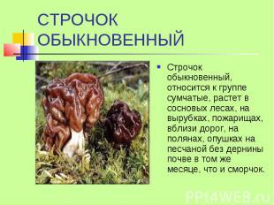 СТРОЧОК ОБЫКНОВЕННЫЙ Строчок обыкновенный, относится к группе сумчатые, растет в