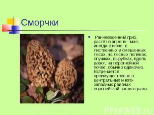 Сморчки Ранневесенний гриб, растёт в апреле - мае, иногда в июне, в лиственных и