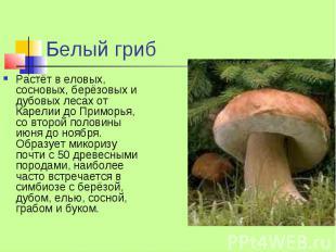 Белый гриб Растёт в еловых, сосновых, берёзовых и дубовых лесах от Карелии до Пр