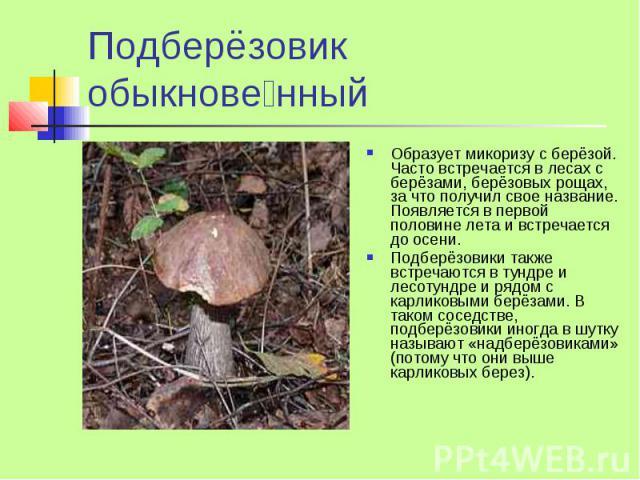 Подберёзовик обыкнове нный Образует микоризу с берёзой. Часто встречается в лесах с берёзами, берёзовых рощах, за что получил свое название. Появляется в первой половине лета и встречается до осени. Подберёзовики также встречаются в тундре и лесотун…
