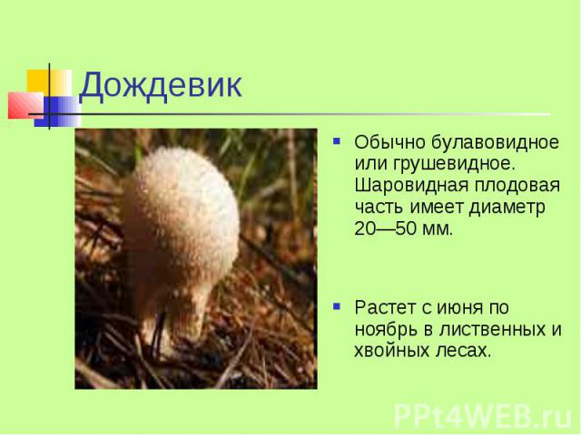 Дождевик Обычно булавовидное или грушевидное. Шаровидная плодовая часть имеет диаметр 20—50 мм. Растет с июня по ноябрь в лиственных и хвойных лесах.