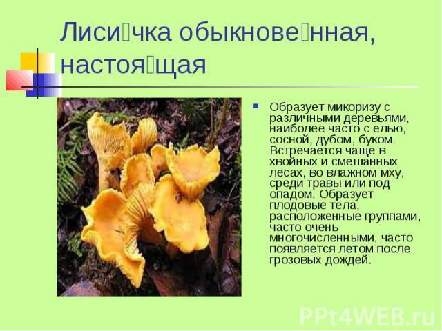 Лиси чка обыкнове нная, настоя щая Образует микоризу с различными деревьями, наиболее часто с елью, сосной, дубом, буком. Встречается чаще в хвойных и смешанных лесах, во влажном мху, среди травы или под опадом. Образует плодовые тела, расположенные…