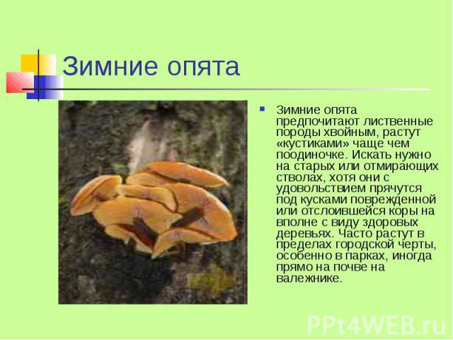 Зимние опята Зимние опята предпочитают лиственные породы хвойным, растут «кустиками» чаще чем поодиночке. Искать нужно на старых или отмирающих стволах, хотя они с удовольствием прячутся под кусками поврежденной или отслоившейся коры на вполне с вид…