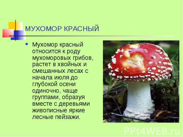 МУХОМОР КРАСНЫЙ Мухомор красный относится к роду мухоморовых грибов, растет в хвойных и смешанных лесах с начала июля до глубокой осени одиночно, чаще группами, образуя вместе с деревьями живописные яркие лесные пейзажи.