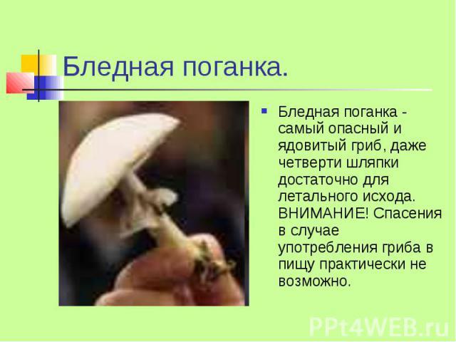 Бледная поганка. Бледная поганка - самый опасный и ядовитый гриб, даже четверти шляпки достаточно для летального исхода. ВНИМАНИЕ! Спасения в случае употребления гриба в пищу практически не возможно.