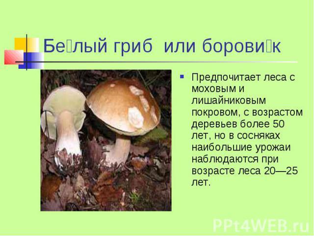 Бе лый гриб или борови к Предпочитает леса с моховым и лишайниковым покровом, с возрастом деревьев более 50 лет, но в сосняках наибольшие урожаи наблюдаются при возрасте леса 20—25 лет.