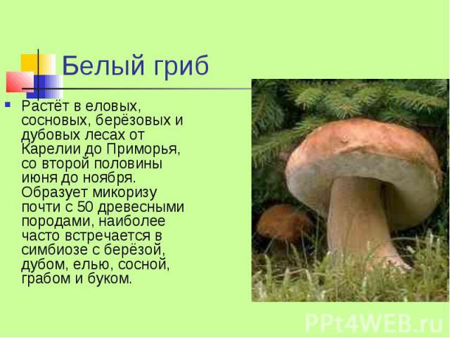 Белый гриб Растёт в еловых, сосновых, берёзовых и дубовых лесах от Карелии до Приморья, со второй половины июня до ноября. Образует микоризу почти с 50 древесными породами, наиболее часто встречается в симбиозе с берёзой, дубом, елью, сосной, грабом…