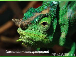 Хамелеон четырехрогий