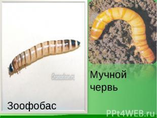 Мучной червь Зоофобас