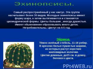 Эхинопсисы. Самый распространённый у нас кактус. Эта группа насчитывает более 30
