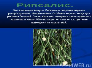 Рипсалис. Это эпифитные кактусы. Рипсалисы получили широкое распространение. Неп