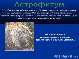 Астрофитум. Их ещё называют звёздные кактусы. Они довольно легки у культуре и ле