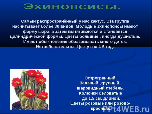 Эхинопсисы. Самый распространённый у нас кактус. Эта группа насчитывает более 30 видов. Молодые эхинопсисы имеют форму шара, а затем вытягиваются и становятся цилиндрической формы. Цветы большие , иногда душистые. Имеют обыкновение образовывать мног…