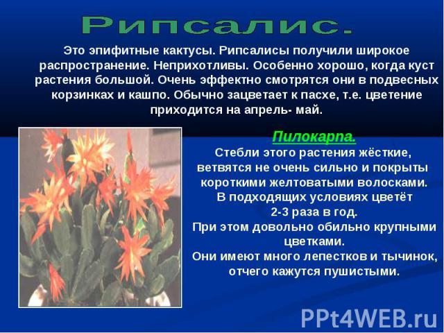 Рипсалис. Это эпифитные кактусы. Рипсалисы получили широкое распространение. Неприхотливы. Особенно хорошо, когда куст растения большой. Очень эффектно смотрятся они в подвесных корзинках и кашпо. Обычно зацветает к пасхе, т.е. цветение приходится н…