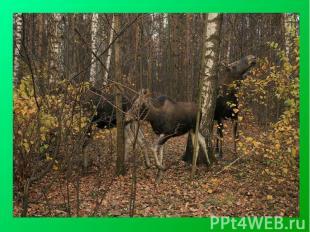 Лоси ный О стров— один из первых национальных парков в России, расположен на те