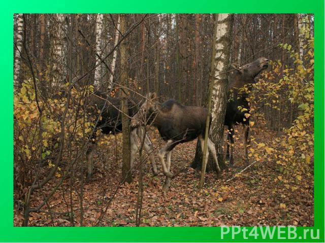 Лоси ный О стров— один из первых национальных парков в России, расположен на территории Москвы и Московской области. Крупнейший лесной массив в Москве и крупнейший среди лесов, расположенных в черте города (Московская часть).