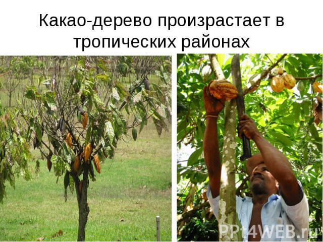 Какао-дерево произрастает в тропических районах